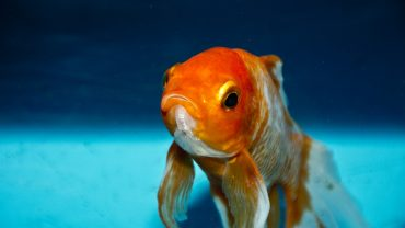 can goldfish eat tropical fish food