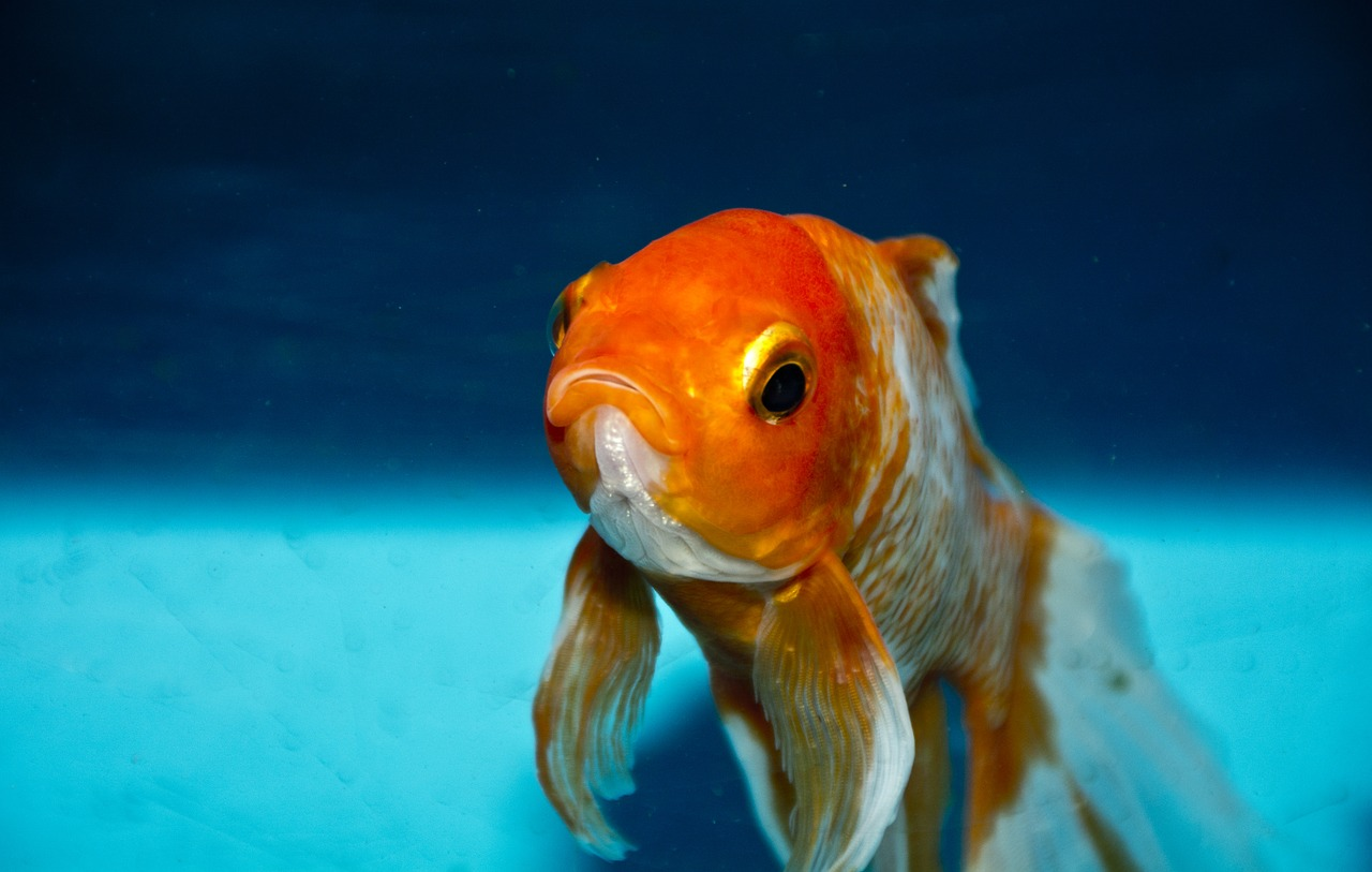 Can Goldfish Eat Tropical Fish Food? - Aquarist Club