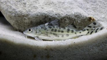how to breed pictus catfish